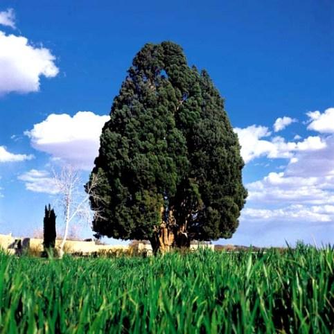 cipres tree.jpg