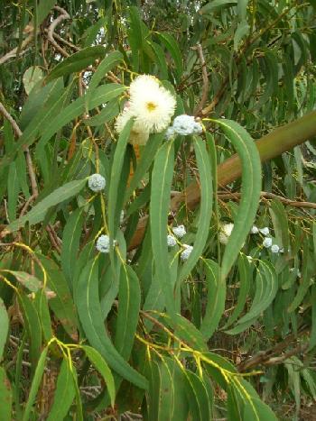 eucaliptus tree.jpg